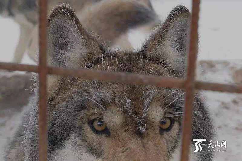 71-летний старец из Китая живет в окружении 150 волков