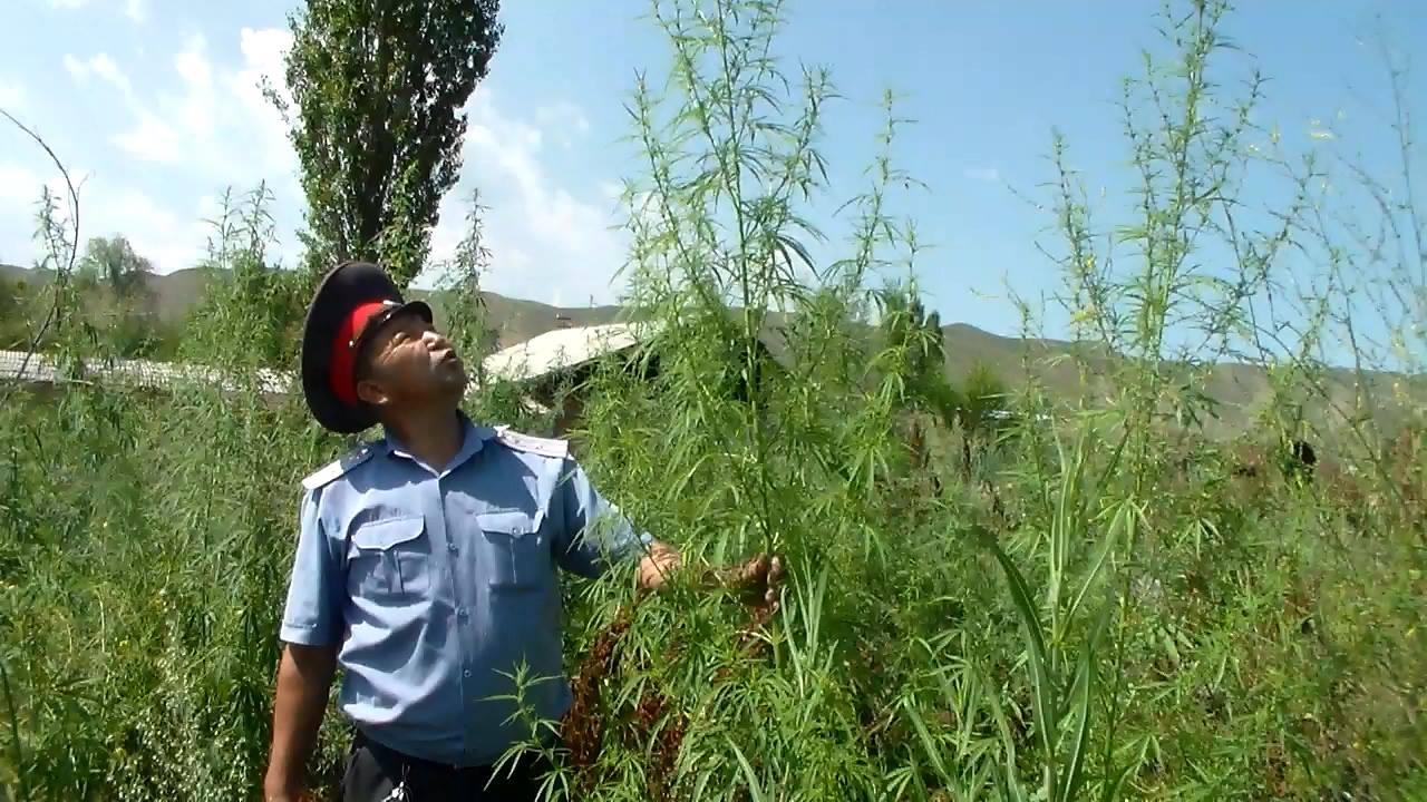 Конопля кыргызстан где купить марихуаны в липецке