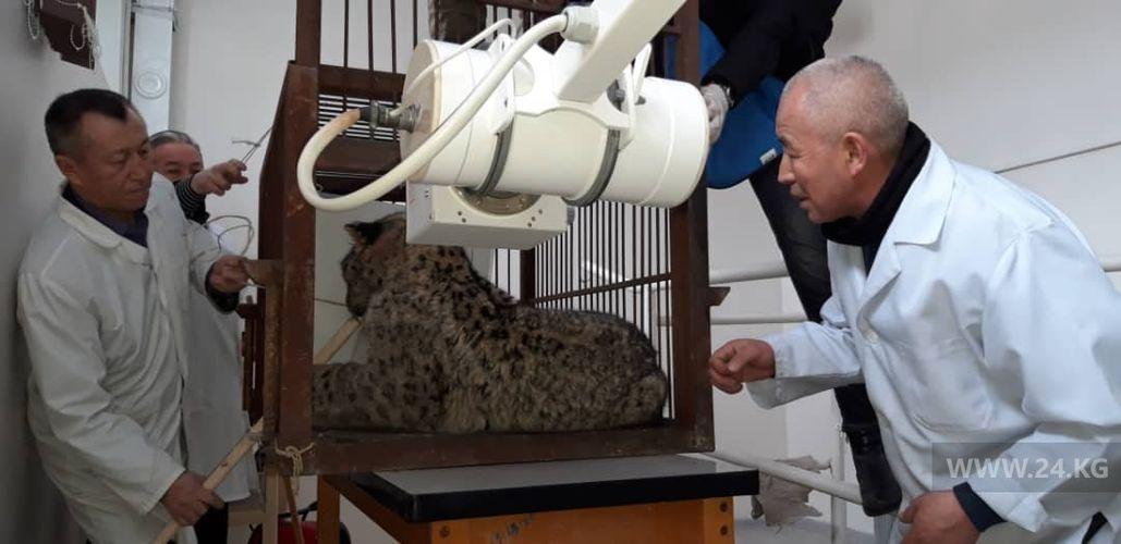 Фото пресс-службы ГАООСиЛХ. Раненое животное обследовали врачи