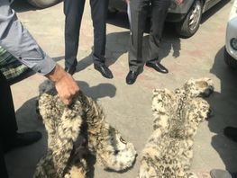 Man trying to sell snow leopard skins in Osh city detained