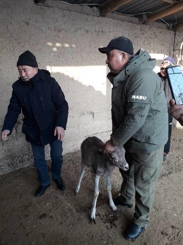 Фото NABU-Кыргызстан. Детеныша краснокнижного архара спасли в Таласской области