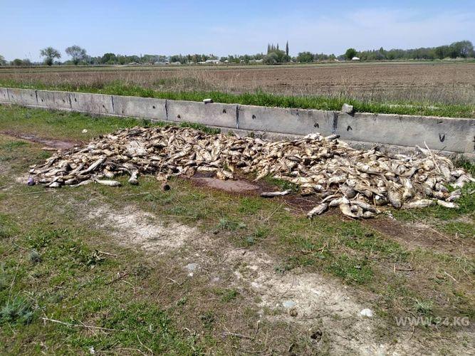 Фото читателя 24.kg. Последствия отравления рыбы