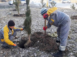 Winter planting of coniferous trees starts in Bishkek