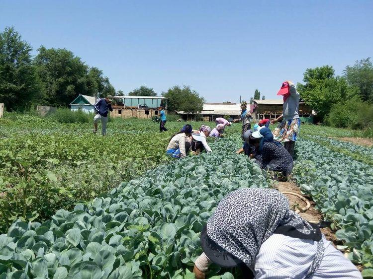 Фото ИА «24.kg». Среди работников на полях много школьников