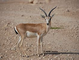 Population of Persian gazelles planned to be restored in Issyk-Kul region